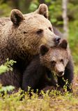 Brown bear mother with her cub. Close up of a loving Eurasian brown bear comforting her cub in Finnish forest during summer season Royalty Free Stock Image
