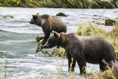 Brown Bear - Mother Teach Cub To Catch Fish royalty free stock photo