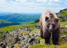Brown bear in mountains Royalty Free Stock Image