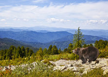 Brown bear in the mountains Royalty Free Stock Photo