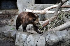 Brown bear on the move. Brown bear on a rock, checking out his surroundings, on the move Stock Images
