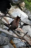 Brown bear on the move, rear view. Brown bear on a rock, checking out his surroundings, on the move, climbing logs Royalty Free Stock Image