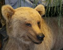 Brown bear muzzle with straight ears stock images