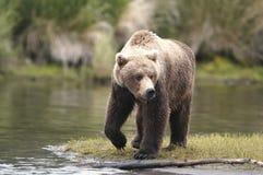brown bear na jedzenie Obrazy Royalty Free