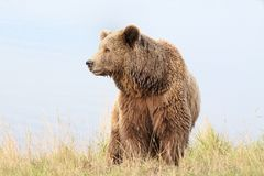 Brown bear in the nature. Portrait of brown bear in the nature Stock Photos