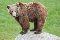 Brown bear in the nature. Brown bear on a rock Stock Photos