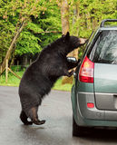 Brown bear near car Stock Images