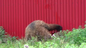 Brown bear near the house. stock video footage