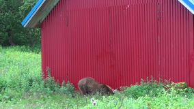 Brown bear near the house. stock video
