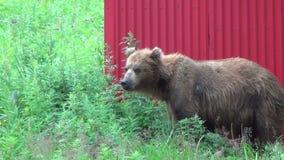 Brown bear near the house. stock footage