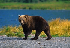 Brown Bear Near Lake Stock Photo
