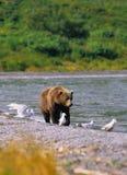 Brown Bear Near Lake Stock Image