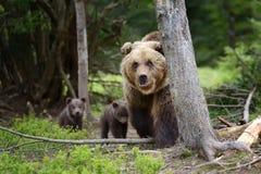 brown bear niemowlę Obrazy Stock