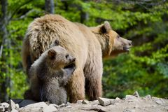 brown bear niemowlę Fotografia Stock