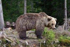 brown bear niemowlę Zdjęcie Stock