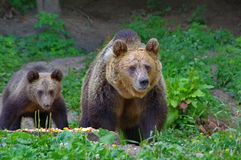 brown bear niemowlę Obraz Royalty Free