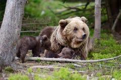brown bear niemowlę Zdjęcia Royalty Free