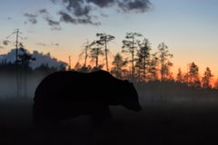 Brown bear at night after sunset Stock Photo
