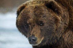 Brown Bear but no teddy bear Stock Photography