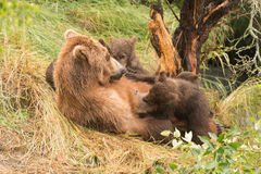 Brown bear nursing four cubs under tree Royalty Free Stock Images
