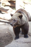 Brown bear in an open cage Stock Photography