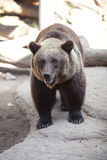 Brown bear in an open cage Stock Images