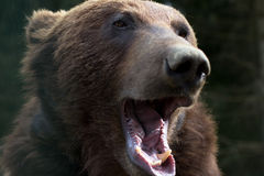 Brown bear with open mouth Stock Photos
