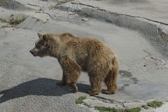 Brown bear out a turn Royalty Free Stock Photography