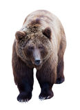 Brown bear over white Stock Images