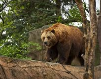 Brown Bear Paces at the Indianapolis Zoo royalty free stock image