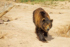 Brown Bear. A brown bear pacing in its paddock in a zoo in Spain Stock Photos