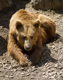 Brown bear. In the park Stock Images