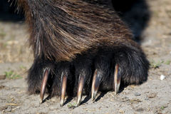 Brown Bear Paw / claws Royalty Free Stock Image