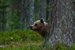 Brown bear peeking behind the tree. Brown bear Ursus arctos peeking behind the tree in a Finnish forest Stock Image