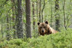 Brown bear peeking over the hill Royalty Free Stock Photography