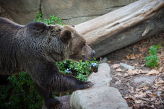 Brown Bear. This photo shows a brown bear from the side Royalty Free Stock Photo