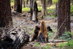 Brown Bear Stock Photos