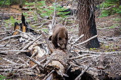 Brown Bear. This picture was taken in Yosemite National Park of a Brown Bear look for food Stock Photography