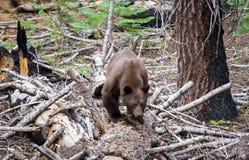 Brown Bear Stock Photo
