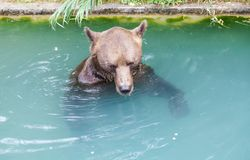 Brown bear at Bern Bear Park, Switzerland. Royalty Free Stock Photos