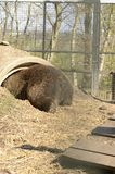 Brown bear playing in a tunnel hide at the zoo stock image