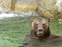 Brown Bear Playing in Water Stock Photography