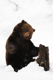 Brown bear playing with wood in the snow. Bavarian forest, ursus arctos Stock Images