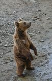Brown bear playing in the zoo royalty free stock image