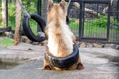 The brown bear plays with rubber wheels stock images