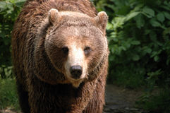 Brown bear in Poland. Typical brown bear in Poland. Bear in famous Wroclaw ZOO Stock Images