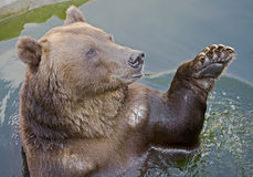 Brown bear in the pond 1 Stock Photography