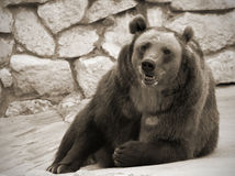 Brown bear portrait. Female bear in the zoo having rest. monochrome image Royalty Free Stock Photography