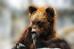Brown bear portrait royalty free stock images