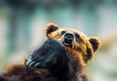 Brown bear portrait royalty free stock image